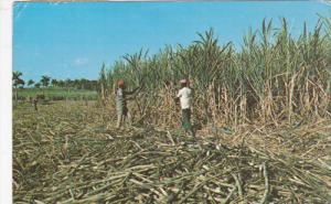 IMBERT, Dominican Republic, PU-1970; Plantation, Cutting Of Sugar Cane