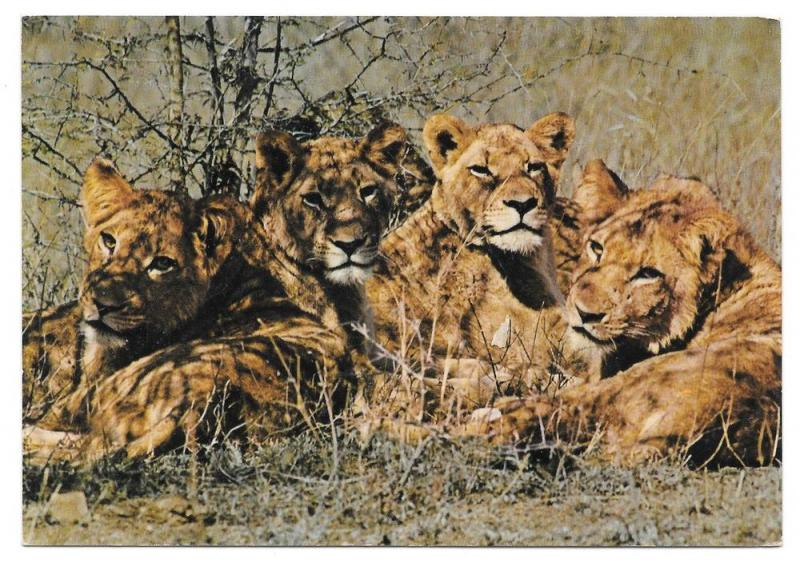 Young Lions Luanga Valley National Park Africa Postcard
