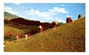 NC - Slope-Legged Beef Cattle