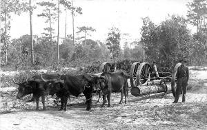 St Cloud FL Logging Oxen Pulling Wagon Real Photo Postcard