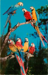 Parrot Jungle Macaws Miami Florida FL Parrots perched on Tree Limb Postcard