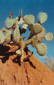 Arizona Phoenix Pricky Parckly Bear Cactus
