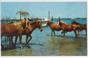 Outer Banks Ponies, Ocracoke Island NC