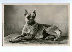 176217 Charming BOXER DOG Champion Medals Vintage PHOTO PC