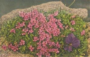 Wild flowers. Long-spurred violet Nice vintage Swiss postcard