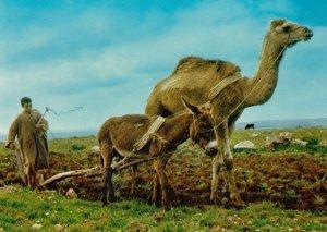 Farming ; Laboureur Marocain , 50-60s ; Camel Plow