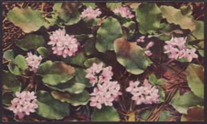 Trailing Arbutus Postcard