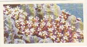 Brooke Bond Tea Trade Card Wild Flowers No 28 English Stonecrop