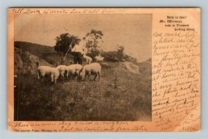 VT-Vermont, Herding Sheep, Vintage c1907 Postcard