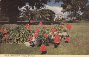 NASSAU, Bahamas, 1940-1960´s; Double Poincettia