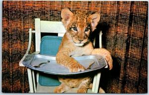 Portland Zoo, Oregon Postcard Gwendolyn a Lion Cub in High Chair c1960s Unused