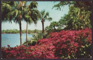 Azalea Time in Tropical,FL