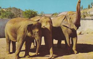 Asiatic Elephant , Zoo , Los Angeles , California , 50-60s