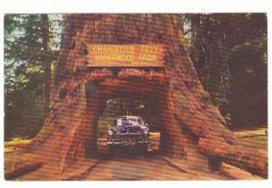 Chandelier Tree, Underwood Park, California,  PU-40-60s