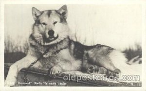 Alaska Malamute Leader, Dog Unused