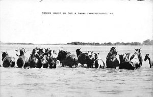 Ponies going in for a swim Chincoteague, Virginia, USA Horse Unused