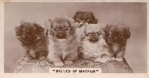 Mayfair Belles Miss London Dog Dogs Antique Real Photo Cigarette Card