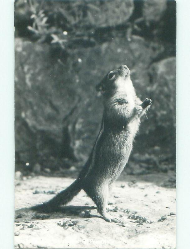1940's rppc CHIPMUNK BEGGING FOR PEANUTS i7096