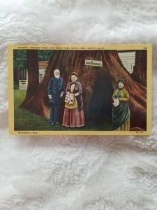 Antique Postcard, General Fremont Tree, Big Tees Park, Santa Cruz County, CA
