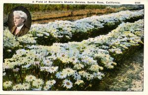 CA - Santa Rosa. A Field of Burbank's Shasta Daisies