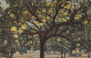 Grape Fruit Tree, Florida, 00-10s