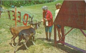 Feeding the deer at the Gatlinburg Ski Resort, Gatlinburg...