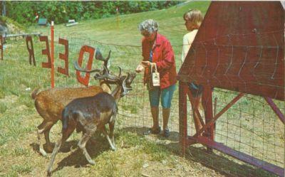 Feeding the deer at the Gatlinburg Ski Resort, Gatlinburg...