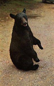 Black Bear Strikes a Pose