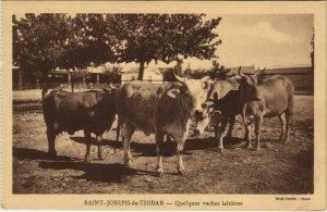 CPA AK TUNISIE St-JOSEPH DE THIBAR Quelques vaches laitieres (153389)