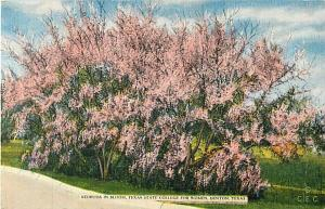 Redbuds in Bloom Texas State College for Women Denton TX Lin