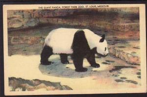 Giant Panda Forest Park Zoo St Louis MO Postcard