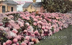Hedge of Hydranges 1912
