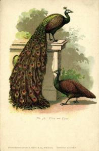 Peafowl Pavo Peacock, Pfau, Paon (1910s) No. 76