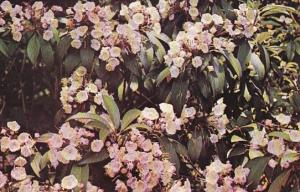 Pennsylvania Mountain Laurel The Official State Flower Of Pennsylvania