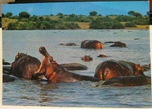 Kenya African Wildlife Hippo Pool - posted