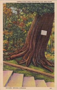Arbor Vitae Tree Estimated Age 10000 Years Natural Bridge Virginia