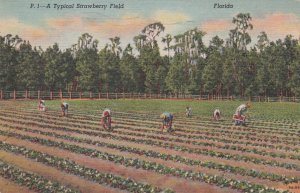 Florida Typical Strawberry Field 1952 Curteich sk6934