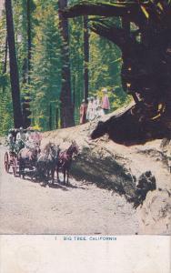 Horse Cart, Big Tree, California, PU-1909