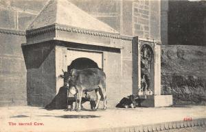 India The Sacred Cow Postcard