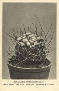 Cactus Cactaceae, Echinocactus Zacatecasensis Sp. N. (1920s) Otto Stoye Postcard
