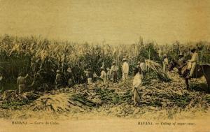 Cuba, HAVANA HABANA, Cutting of Sugar Cane, Corte de Caña (1910s) Postcard