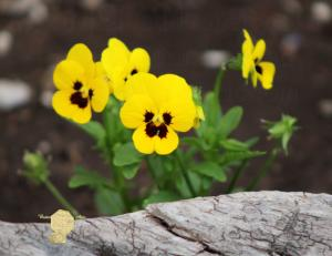 Handmade Postcard Set of 6, Butter Yellow Pansies And Rustic Wood
