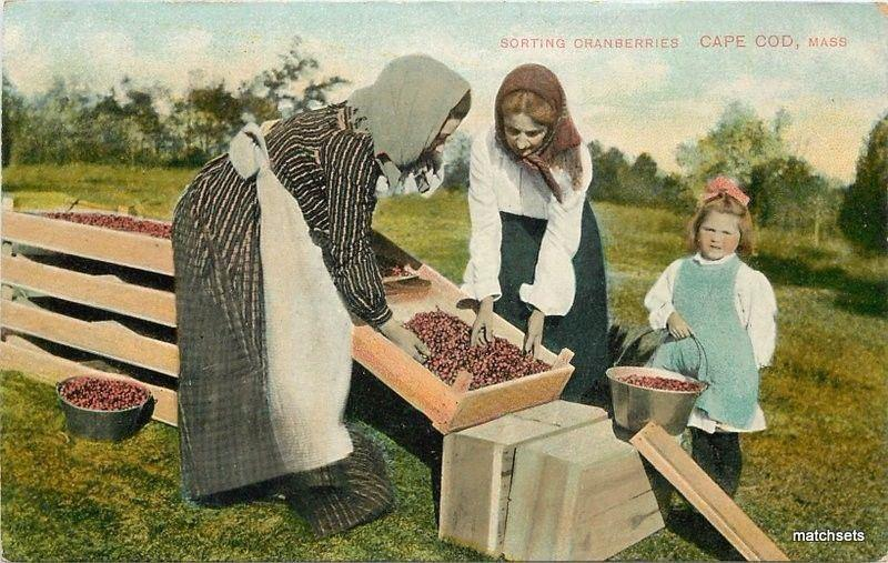 C-1910 Farming Agriculture Sorting Cranberrys Cape Cod Massachusetts 4119
