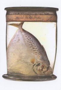 Indo Pacific Odd Shaped Moonfish Fish Mene Maculate Museum Postcard