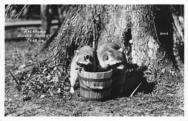 Raccoons Silver Springs, Florida, USA Unused