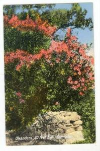 Oleanders, 20 feet high-Bermuda, 00-10s
