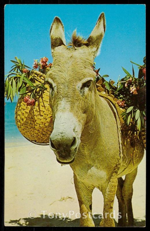 Charlie the Donkey, stars in many of the floor shows in Jamaica