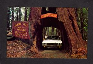 CA Shrine Giant Redwood Trees Forest Myers Flat California Postcard Highway