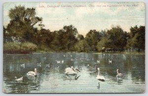 Cincinnati Ohio~Zoological Gardens Lake~BIrds: Swans~Ducks~Storks~c1910