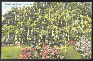 Mango Tree Miami FL Tichnor Linen Postcard 1940 Air Mail Saves Time Slogan Cance